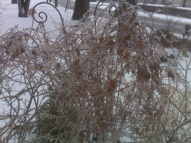 Клематис зимой