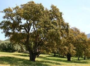Фото пробкового дуба, wikimedia.org
