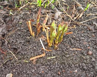 Посадка травяного клемантиса