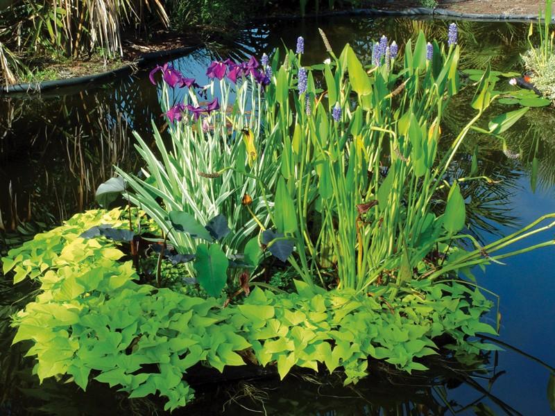 Водные растения для пруда – профессиональные советы по выбору