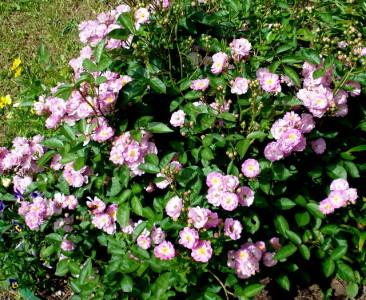На снимке розы полиантовые