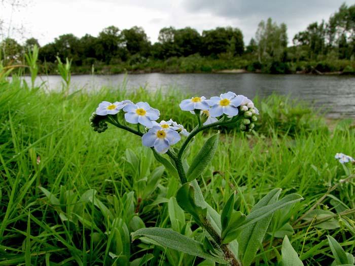 Изображение Незабудки болотной
