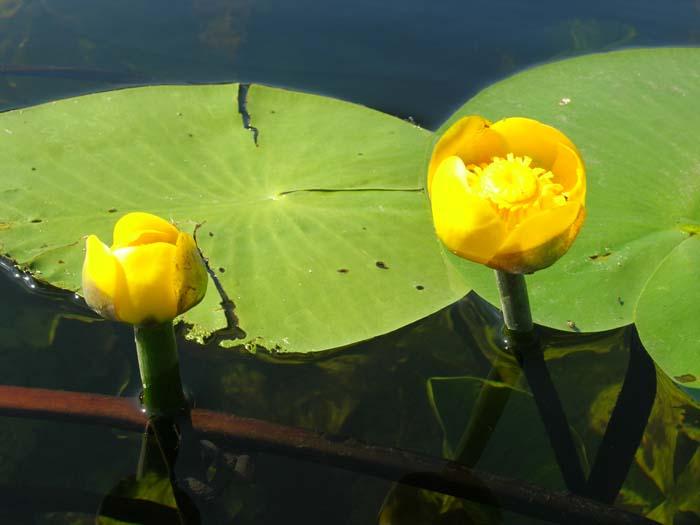 Изображение Кубышки жёлтой