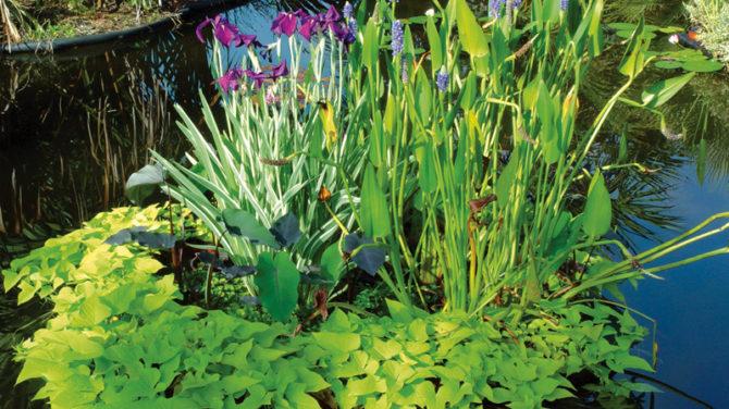 Водные растения для пруда — профессиональные советы по выбору